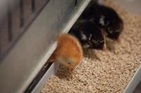 Комбикорм полнорационный ПК 5-2 для кормления цыплят-бройлеров в возрасте 11-24 дней (10кг), Береза